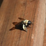 Repair Carpenter Bee Damage
