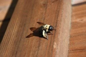 Repair Carpenter Bee Damage