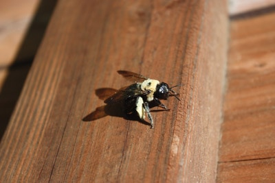 Repair Carpenter Bee Damage Extreme How To