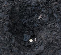 Garlic clove planted