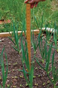 Garlic past a foot high