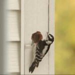 woodpecker-on-house_zps49b07d59