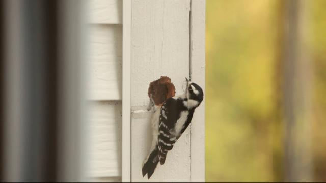 Problems With Woodpeckers Extreme How To